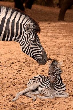 Zebra-de-planicie Equus-burchelli fotografia-4338