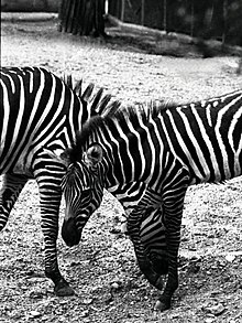Zebra Dallas Zoo 1974.jpg