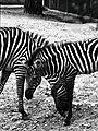 Zebra Dallas Zoo 1974.jpg