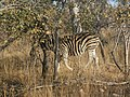 Zebras in the bush 03.jpg