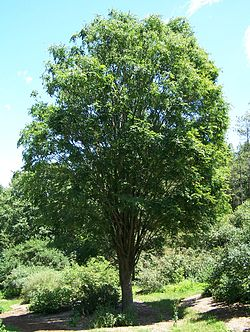Zelkova serrata entire.jpg