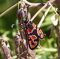Zygaena (Agrumenia) fausta - Flickr - gailhampshire.jpg