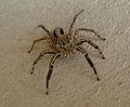 """""""Spider"""".JPG"""