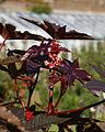 'Ricinus communis' Castor bean plant Capel Manor Gardens Enfield London England 2.jpg