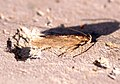 (0822) Scrobipalpa acuminatella (2) - Flickr - Bennyboymothman.jpg