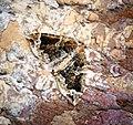 (1754) The Phoenix (Eulithis prunata) (34425775273).jpg