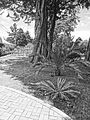 (Jardín Botánico de Quito) a black and white photo, pic a.JPG