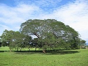Enterolobium cyclocarpum - Specimen in Guanacaste (Costa Rica)