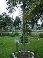 Árbol de Shica Shica en el Jardín Botánico de Lima.jpg