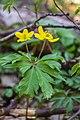 Анемона жовтецева (Anemone ranunculoides, Lat).jpg