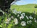 Анемона лісова (Anemone sylvestris) у підніжжі Касової гори.jpg
