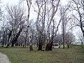 Берёзы в парке Ада Циганлия, Белград.jpg