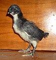 Едноседмично пиле Черна шуменска кокошка.jpg