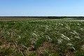 Ковыль в степи. Вид в южном направлении - panoramio.jpg