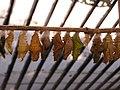 Куколки на выставке бабочек НБС 1.jpg