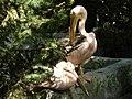 Пелікани, Ялтинський зоопарк, 2010,.jpg