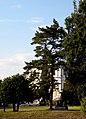 Рыльский район Марьино Парк Сосна крымская 200 лет 2.jpg