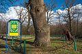 Слюсарівський віковий дуб.jpg