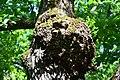 Сосново-дубові насадження Капа на дубі DSC 0062.jpg