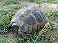 Черепаха. Зоология.jpg