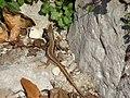 Ящерица (40941577982).jpg