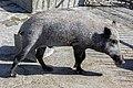 خوک در باغ وحش مشهد ایران- pig in zoo -iran.jpg