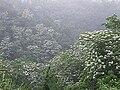 八卦山上的油桐花.jpg