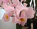 卡特蘭屬 Cattleya schroederae -香港青松觀蘭花展 Tuen Mun, Hong Kong- (33538541904).jpg