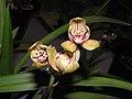 四季水紅 Cymbidium ensifolium 'Pale Pink' -香港沙田國蘭展 Shatin Orchid Show, Hong Kong- (12168203736).jpg