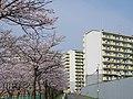 富田林市楠町の桜並木 2013.3.30 - panoramio.jpg