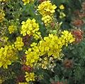 岩生庭薺 Aurinia saxatilis -哥本哈根大學植物園 Copenhagen University Botanical Garden- (37082436815).jpg