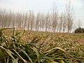 干旱的小麦田 - panoramio.jpg