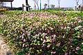 御茶屋御殿跡の沈丁花の花 Winter daphne flowers 2014.3.24 - panoramio.jpg