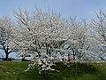 木場湖「千本桜」 - panoramio.jpg