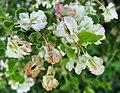 木蓼屬 Atraphaxis caucasica -維也納大學植物園 Vienna University Botanical Garden- (28362024350).jpg