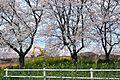 桜 (4512947278).jpg