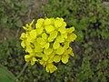 油菜花 Brassica campestris -開封龍亭植物園 Kaifeng Botanic Garden, China- (9213320825).jpg