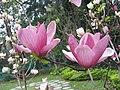 紫玉蘭(辛夷) Magnolia liliflora -香港動植物公園 Hong Kong Botanical Garden- (9198148631).jpg