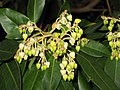 草莓樹屬 Arbutus glandulosa -墨爾本植物園 Royal Botanic Gardens, Melbourne- (9226995205).jpg