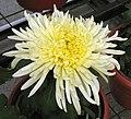 菊花-碧海丹 Chrysanthemum morifolium -中山小欖菊花會 Xiaolan Chrysanthemum Show, China- (12026622683).jpg