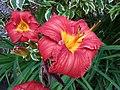 萱草 Hemerocallis Scarlet Orbit -悉尼植物園 Royal Botanic Gardens, Sydney- (32584125898).jpg