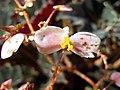 蛤蟆秋海棠-雌花 Begonia rex Dark Mambo -香港公園 Hong Kong Park- (20647522474).jpg