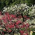 道明寺天満宮・梅園にて Ume garden, Dōmyōji-Temmangū 2012.3.16 - panoramio.jpg