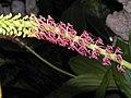 闊葉沼蘭 Malaxis latifolia -香港動植物公園 Hong Kong Botanical Garden- (9207641344).jpg