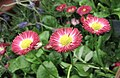 雛菊 Bellis perennis Red -香港花展 Hong Kong Flower Show- (9204859367).jpg
