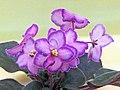 非洲紫羅蘭 Saintpaulia Halo's Aglitter -香港北區花鳥蟲魚展 North District Flower Show, Hong Kong- (39250119882).jpg