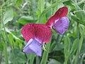 香豌豆 Lathyrus odoratus Cupanii -英格蘭 Brockhole, England- (9255261884).jpg