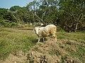 0306Sheep–goat hybrids 07.jpg