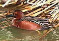 033 - CINNAMON TEAL (3-26-13) mustang island, nueces co, tx (7) (8711191405).jpg