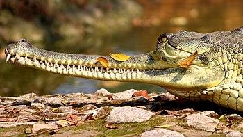 03 Crocodile.jpg